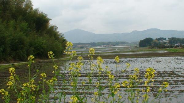 水田と菜の花
