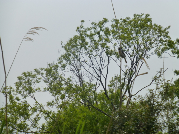 120616クッチャロ湖レカセウシュナイ川の小鳥.