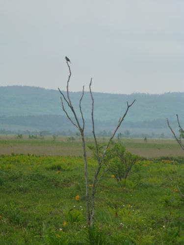 120618サロベツ湿原センター逃げない鳥