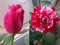 新種の薔薇 アラベスク