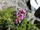 北アルプスの花