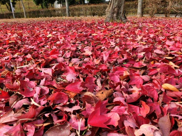 落葉のじゅうたん (1)
