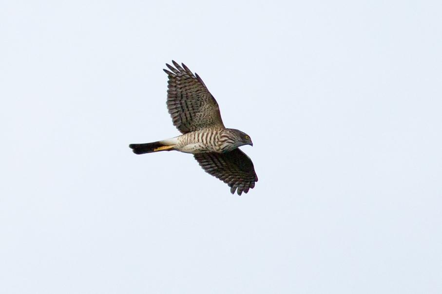 1411013ツミ幼鳥