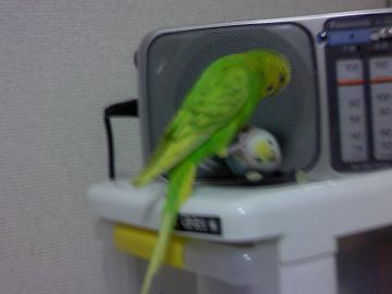 おもちゃのインコをやっつけているキキ(2012年6月)