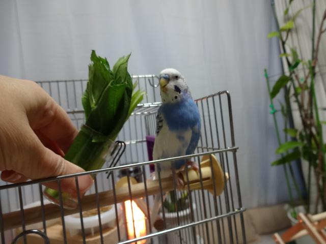 小松菜を食べています