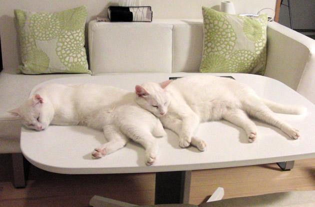 眠る白猫兄弟