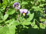 スクール ジャガイモの花