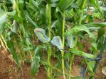 トウモロコシ予防