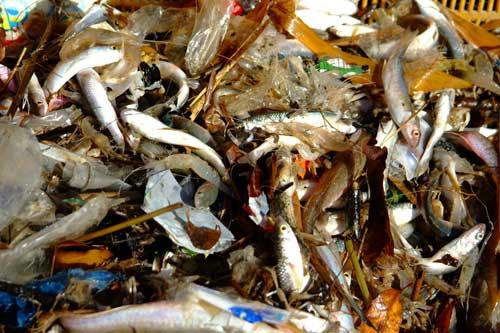 韓国 汚水海洋投棄6 魚よりゴミ