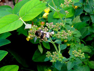 オレガノに蜂DSCN8278