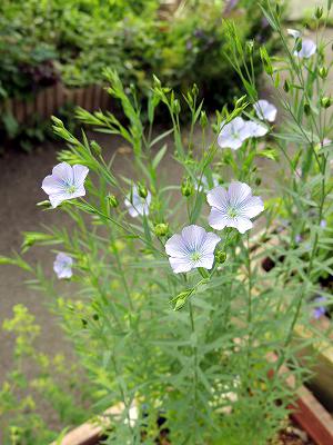 亜麻の花DSCN8237