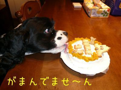 本日もコッカー日和-バースデーケーキ