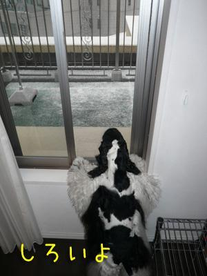 本日もコッカー日和-雪