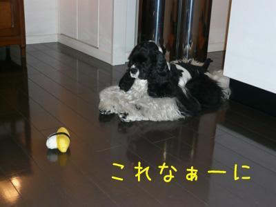 本日もコッカー日和-卵焼き