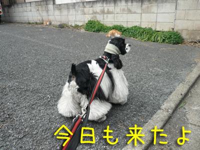 本日もコッカー日和-散歩