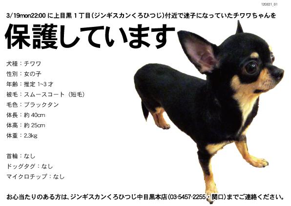 3/21wed保護情報(中目黒で迷子のチワワちゃん♀保護3日目)