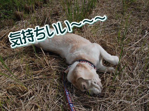 2012・10・14黒枝豆取り2