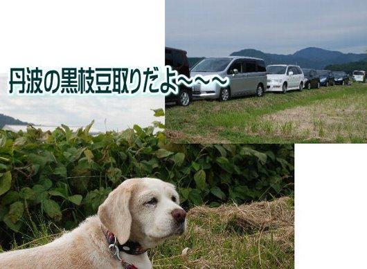 2012・10・14黒枝豆取り1