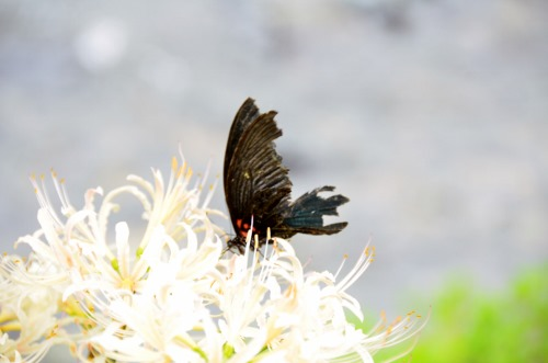 白の彼岸花と蝶