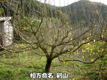 剣山のような梅