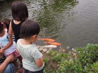 鯉に餌付け