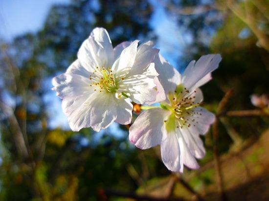 14,10,25 十月桜①