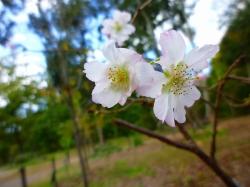 14,10,25 十月桜 (2)