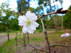 14,10,25 十月桜