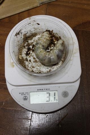 31グラム幼虫