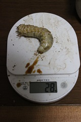 久留米幼虫