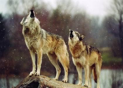 ★2匹の狼 782471ef113065ce7d808