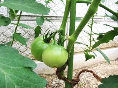 〈おどりの畑〉トマト