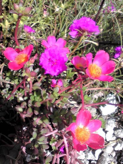 沖縄の草花(9月)