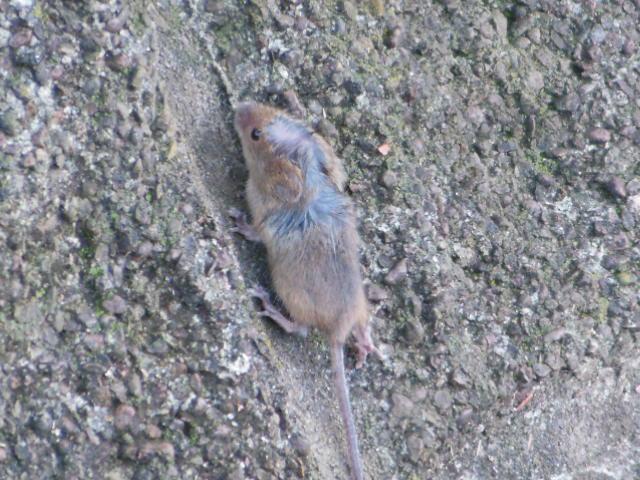 ネズミ 016