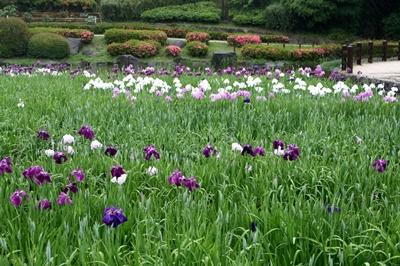 菖蒲の花B