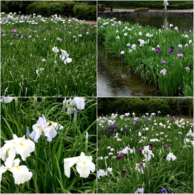 菖蒲の花6