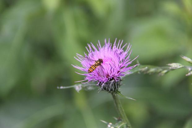 IMG_2184アザミとハチ