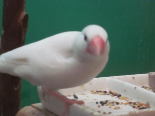 白文鳥さん