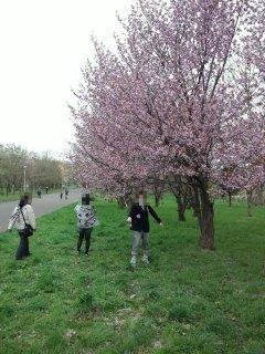 河川敷近くの桜