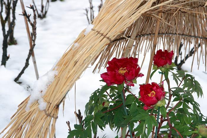 長谷寺 冬牡丹1