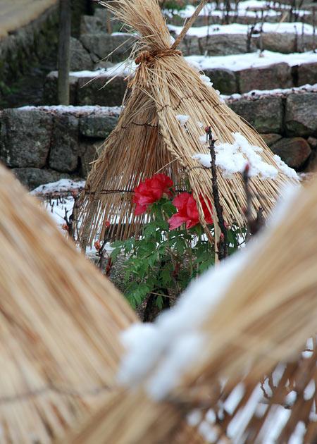 長谷寺 冬牡丹2