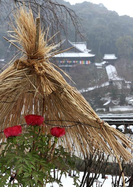長谷寺 冬牡丹4