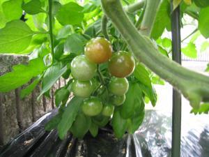 ミニトマト 2