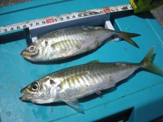 aji higashiougishima