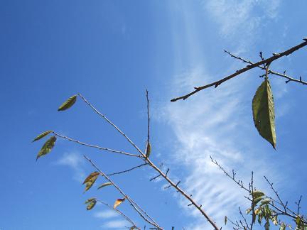 秋の日の桜の葉