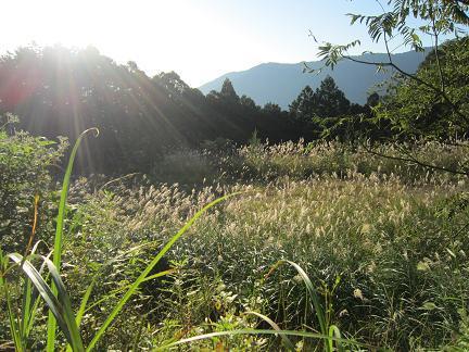 高山ススキの原