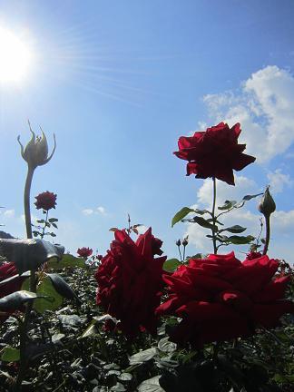 秋のバラ2012 1