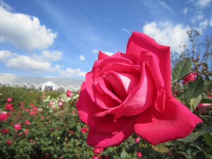 秋のバラ2012