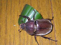 [写真]きゅうりにしがみつくカブト虫(その1)