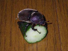 [写真]きゅうりにしがみつくカブト虫(その3)